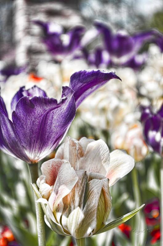 Tulips by Sharon Popek
