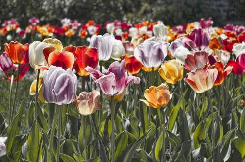 Colorful Tulips in the Sun by Sharon Popek