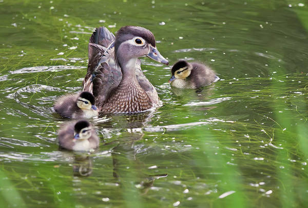 Mother duck with ducklings on the water