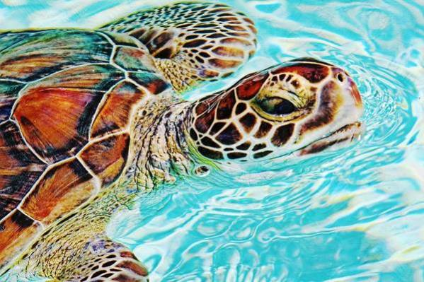 Turtle Art Print featuring the photograph Swimming Turtle by Tatiana Travelways