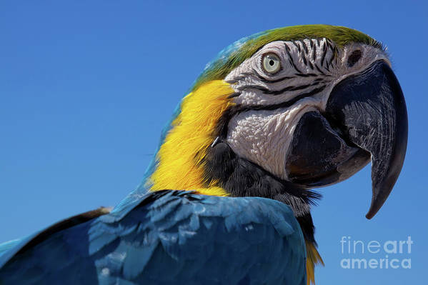 Close-up Art Print featuring the photograph Colorful Parrot's Head by Tatiana Travelways