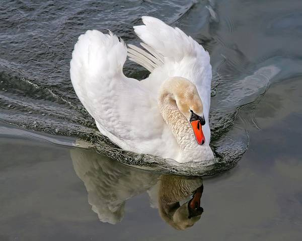 Swan Art Print featuring the photograph Determination by Tatiana Travelways