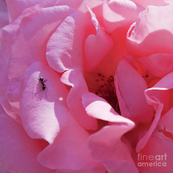 Spanish Art Print featuring the photograph Spanish Pink Rose - Square Format by Tatiana Travelways