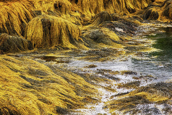 Golden Art Print featuring the photograph Golden seaweed at low tide by Tatiana Travelways