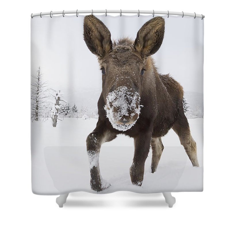 captive young bull moose in deep snow shower curtain