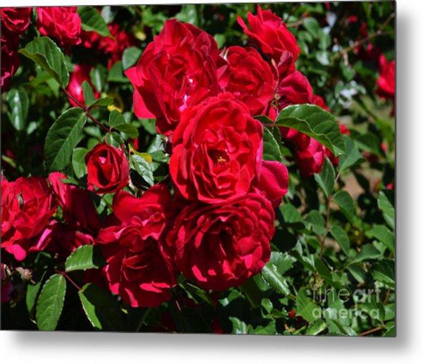 Red Rose Bush Samyysandra Com