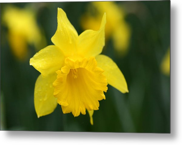 Spring Yellow Daffodils Flowers Photograph by Pierre Leclerc Photography Spring Yellow Daffodils Flowers Metal Print by Pierre Leclerc Photography