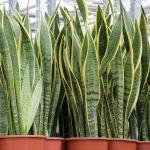 Snake Plant Propagation How To Propagate Snake Plants Carter Family Recipes