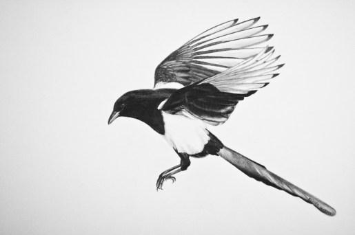 """Magpie, 2013 - 11""""x14"""""""