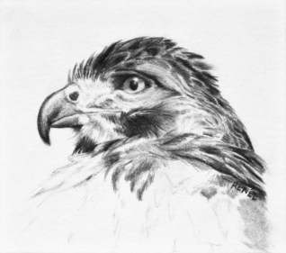 """Red Tailed Hawk, 2009 - 3.5""""x4"""""""