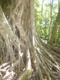 Gigantic strangler fig trees