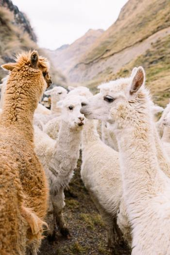 Best-Things-To-Do-In-And-Around-Cusco-Peru-Llama-Blessing