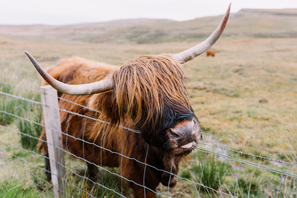 Epic Isle of Skye Photography Locations Renee Roaming Scotland Highland Cow