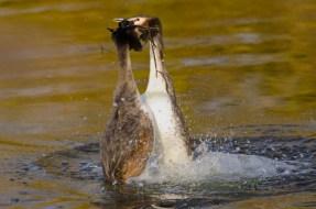 Pinguindans