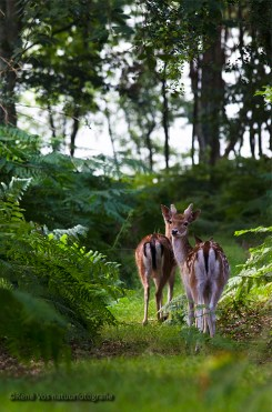 Damhertjes in het bos