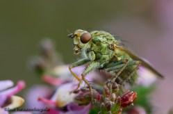 Groen vliegje