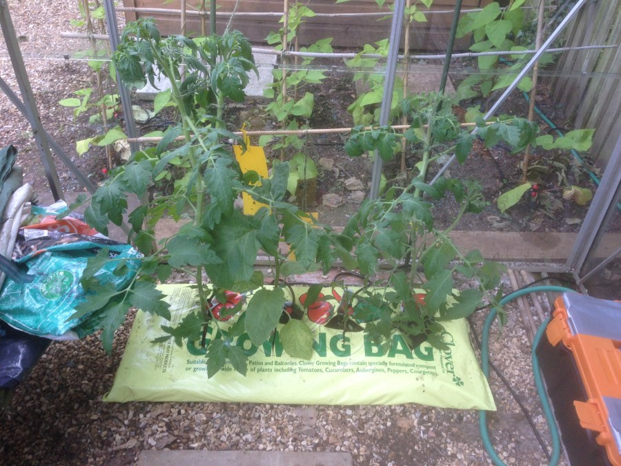 tomato plants in a grow bag