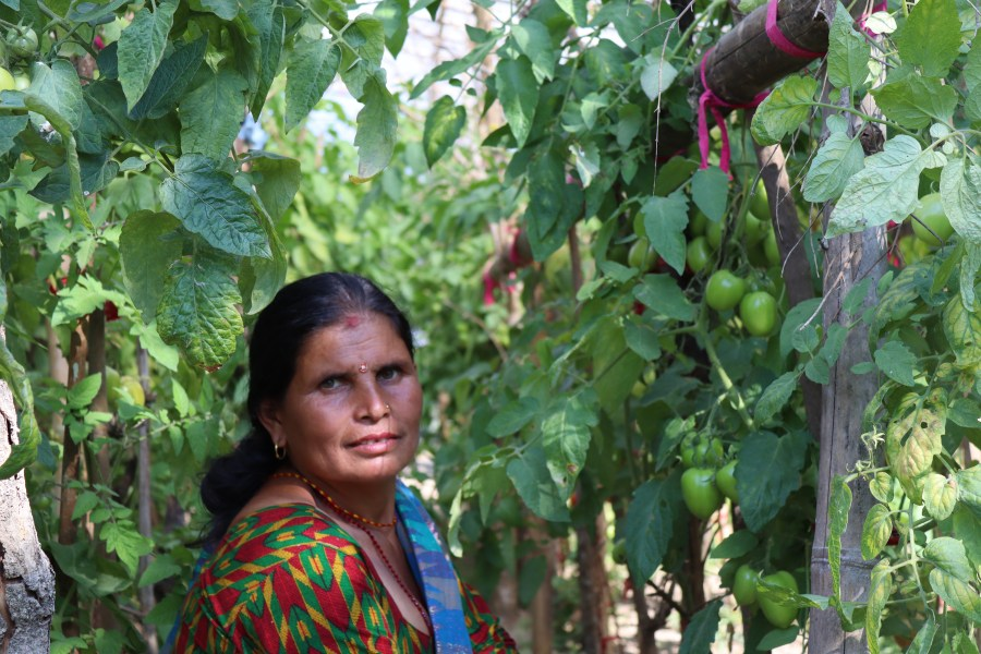 Harikala is pictured standing among her lush crop of tomatoes that tower over her.
