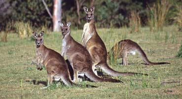 Kangaroos. Photo: Geoff Shaw