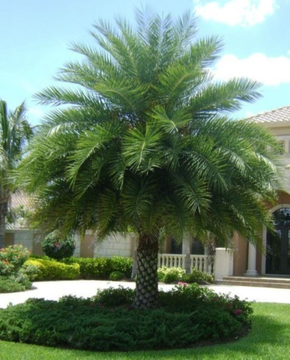 Palm Trees In The Front Yard 10