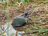 A turtle watches as we stroll by on a floating footbridge