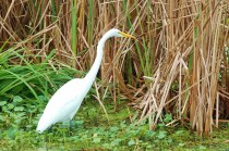 An American Egret hunts along the edge of the lake, undisturbed by people on the footbridge.