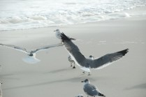 A couple of gulls take flight as I approach