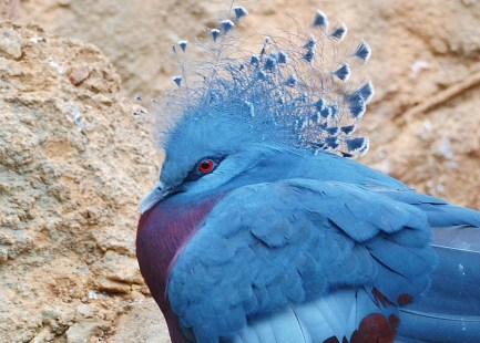 Victoria Crowned Pigeon, native of New Guinea
