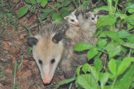 Possum with babies riding on her back.