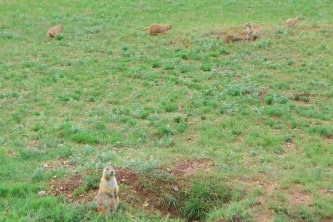 Devils Tower's Prairie Dog Town