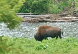 A lone Bison grazing along the river.