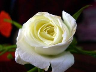 white-rose_2