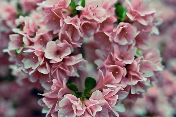Azalea pink heart valentine flowers