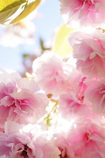 cherry-blossom-double-cherry-blossoms