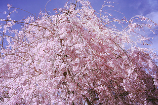 cherry-blossom-weeping-cherry