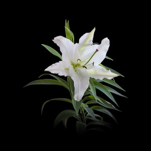7月24日の誕生花