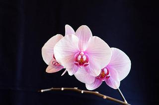 pink-phalaenopsis