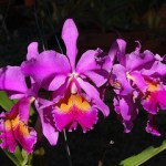 purple-cattleya