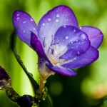 purple-freesia