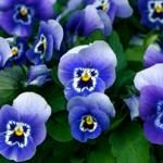 purple-pansy