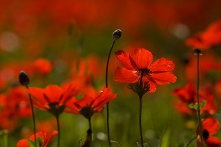 red-anemone
