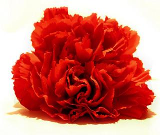 red-carnation