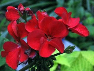 scarlet-geranium