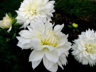 white-dahlia