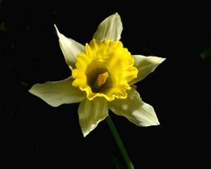 yellow-narcissus