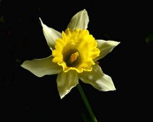 yellow-narcissus