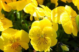yellow-pansy