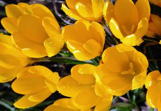 黄色いクロッカス