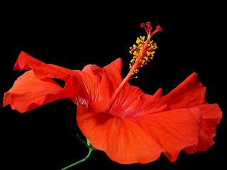 hibiscus_2