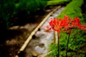 ヒガンバナの花言葉